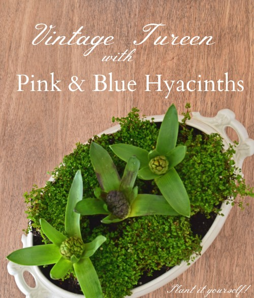 Plant It Yourself:  Hyacinth Bulbs In A Vintage Tureen